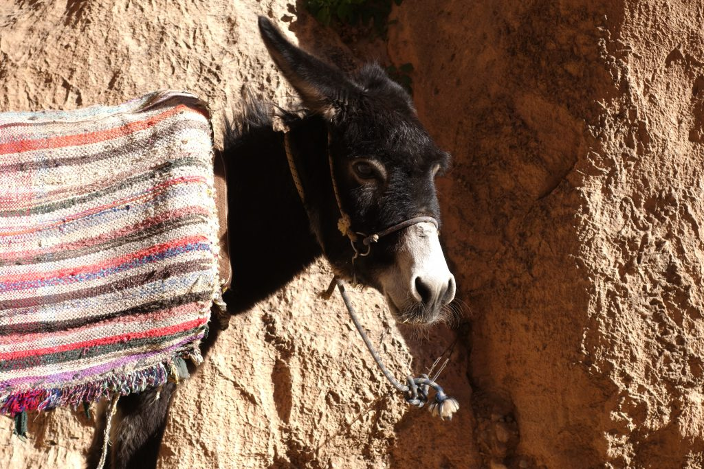 A donkey in Todra Gorge.