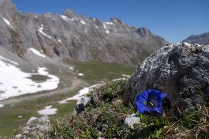 An Alpine flower in Picos Du Europa